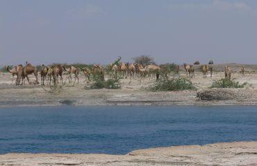 Äthiopien Kamele an den heißen Quellen