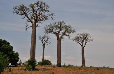 Madagaskar Baobabs
