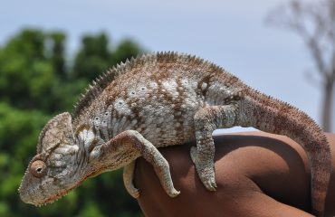 Madagaskar Chamaeleon