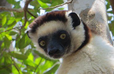 Madagaskar Lemur Larvensifaka