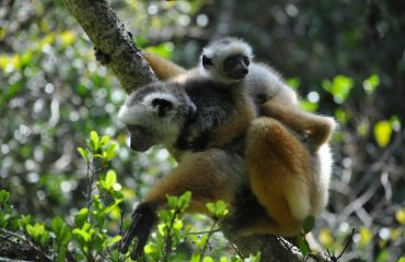 Madagaskar Lemuren Sifaka
