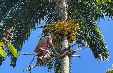Yanomami Früchte ernten